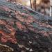 orange bark