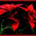 Poinsettia by carolmw