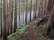 11th Dec 2018 - Foggy cedar forest