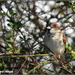 A lovely house sparrow