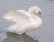 11th Dec 2018 - Swan