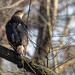 Cooper's Hawk by rminer