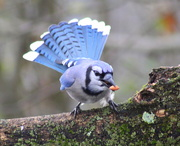 11th Dec 2018 - Turkey Or Blue Jay?