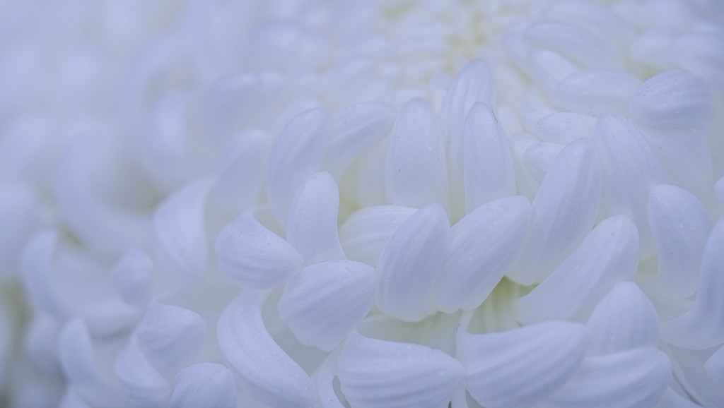 Chrysanthemum by tonygig