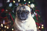 12th Dec 2018 - There's a List of Naughty Pugs?