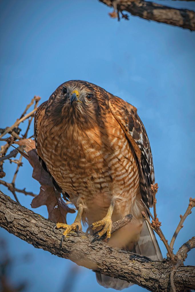 Hawk Eye by samae