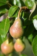 13th Dec 2018 - Pears