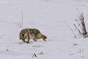 13th Dec 2018 - Coyote with Fish