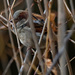 male house sparrow in the branches