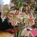 An incredible amaryllis bulb
