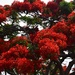 .Beautiful Poinciana Tree ~