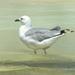 A Hartlaubs Gull