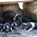 Fat Pig Farm Pigs
