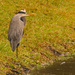 One Legged Blue Heron!
