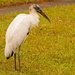 Beautiful Woodstork! by rickster549