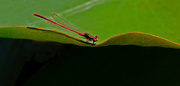 15th Dec 2018 - Red damselfly on a lily pad