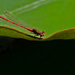 Red damselfly on a lily pad