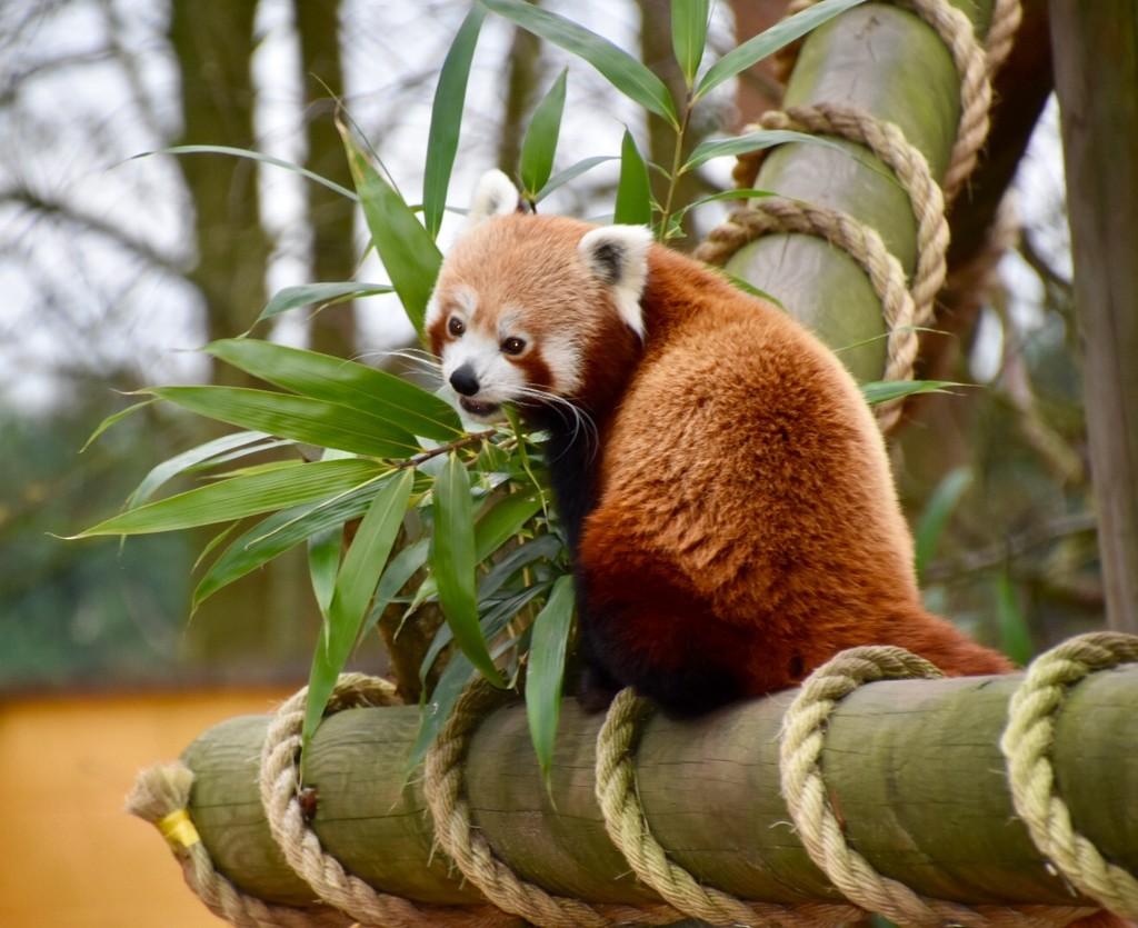 Red Panda by gillian1912