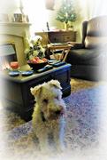 15th Dec 2018 - Pensive Alfie