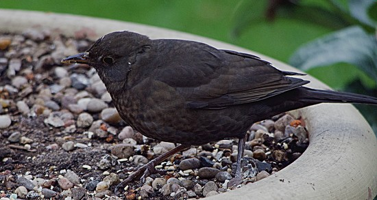 Female Blackbird by tonygig