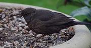 15th Dec 2018 - Female Blackbird