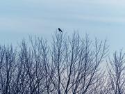 15th Dec 2018 - treetop crow