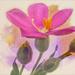 Orphium fructescens