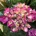 Hydrangeas are so lovely