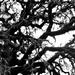 Tree black & white (5)