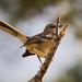 Mockingbird With Attitude!