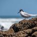 White Breasted Tern