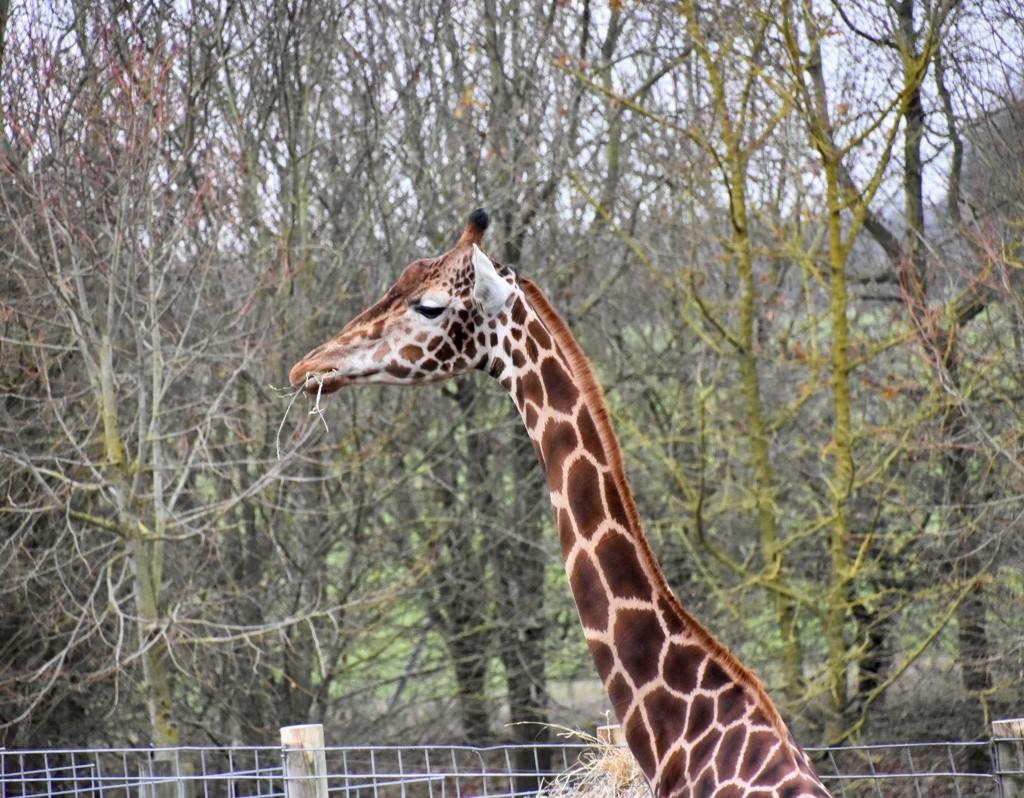 Giraffe by gillian1912