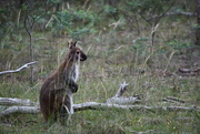 17th Dec 2018 - A Wallaby in our back yard.
