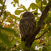 Barred Owl, in a Different Tree!