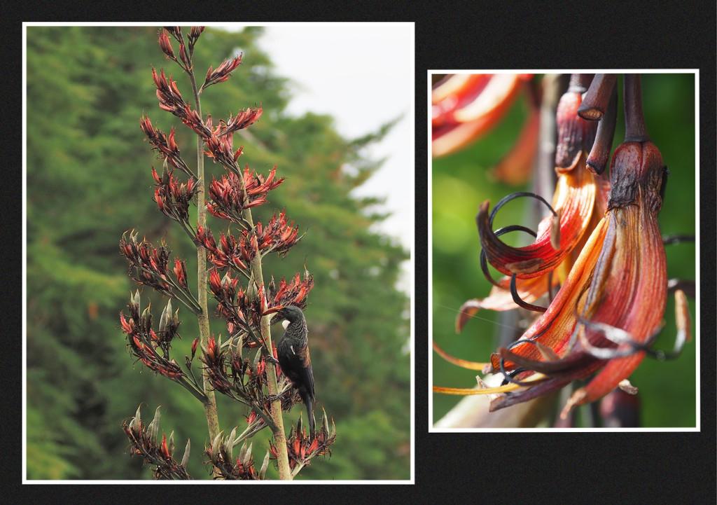 Tui feeding ,and flower by Dawn