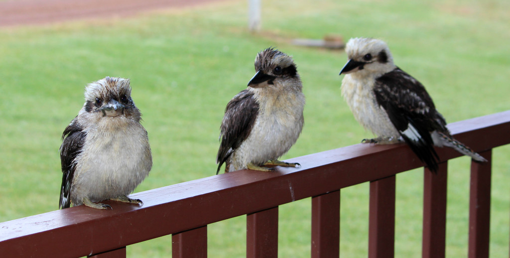 Three Kookaburras by leestevo