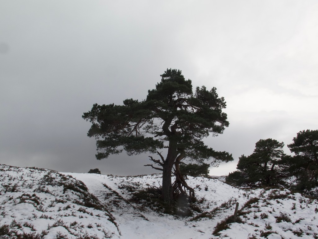 The Lone Scots Pine by jamibann