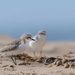 red capped plover by pusspup