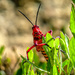 A peeping Red Locust by ludwigsdiana