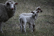 19th Dec 2018 - Sheep & Lambs