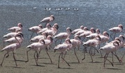 3rd Dec 2018 - March of the flamingos