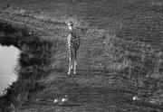 20th Dec 2018 - Baby Giraffe Herding Canadian Geese