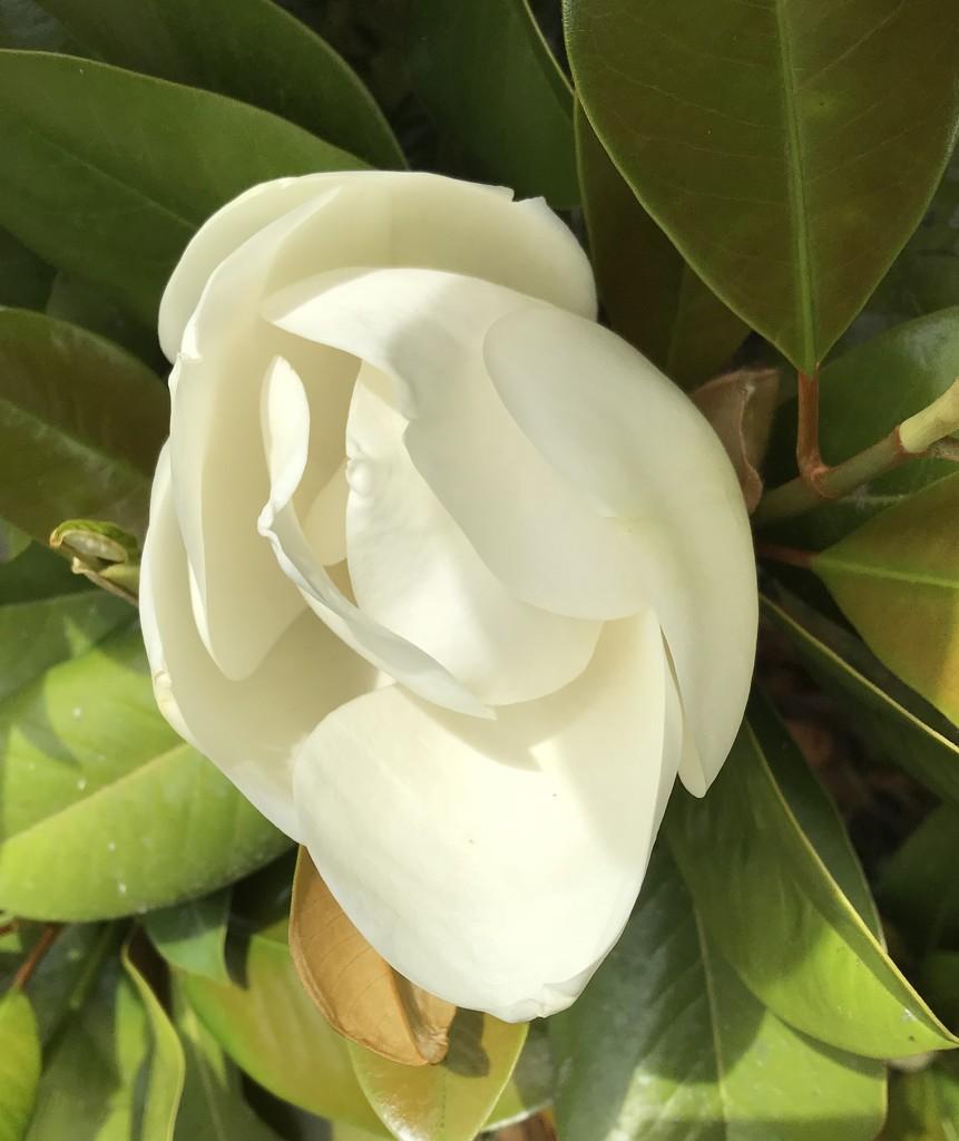 Magnolia flower by Dawn