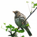 Young thrush practising singing by maureenpp