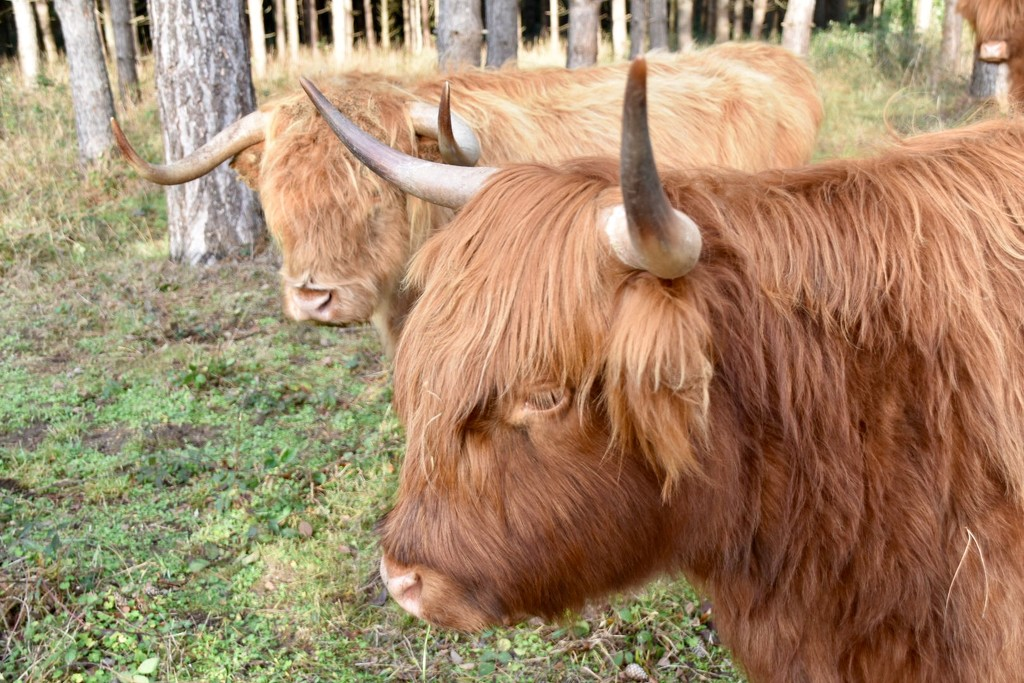 Highland Cattle by gillian1912