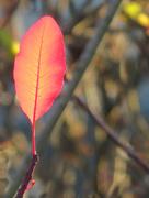20th Dec 2018 - Leaf Glow