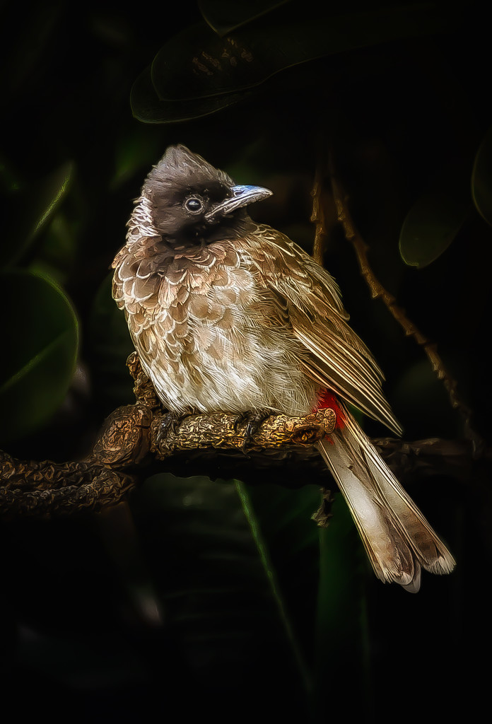 red-vented bulbul by jerome