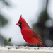 Cold Snowy day Cardinal