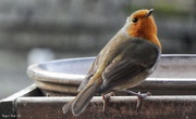 21st Dec 2018 - Our friendly Robin