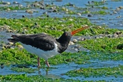 22nd Dec 2018 - South Island pied oystercatcher drinking